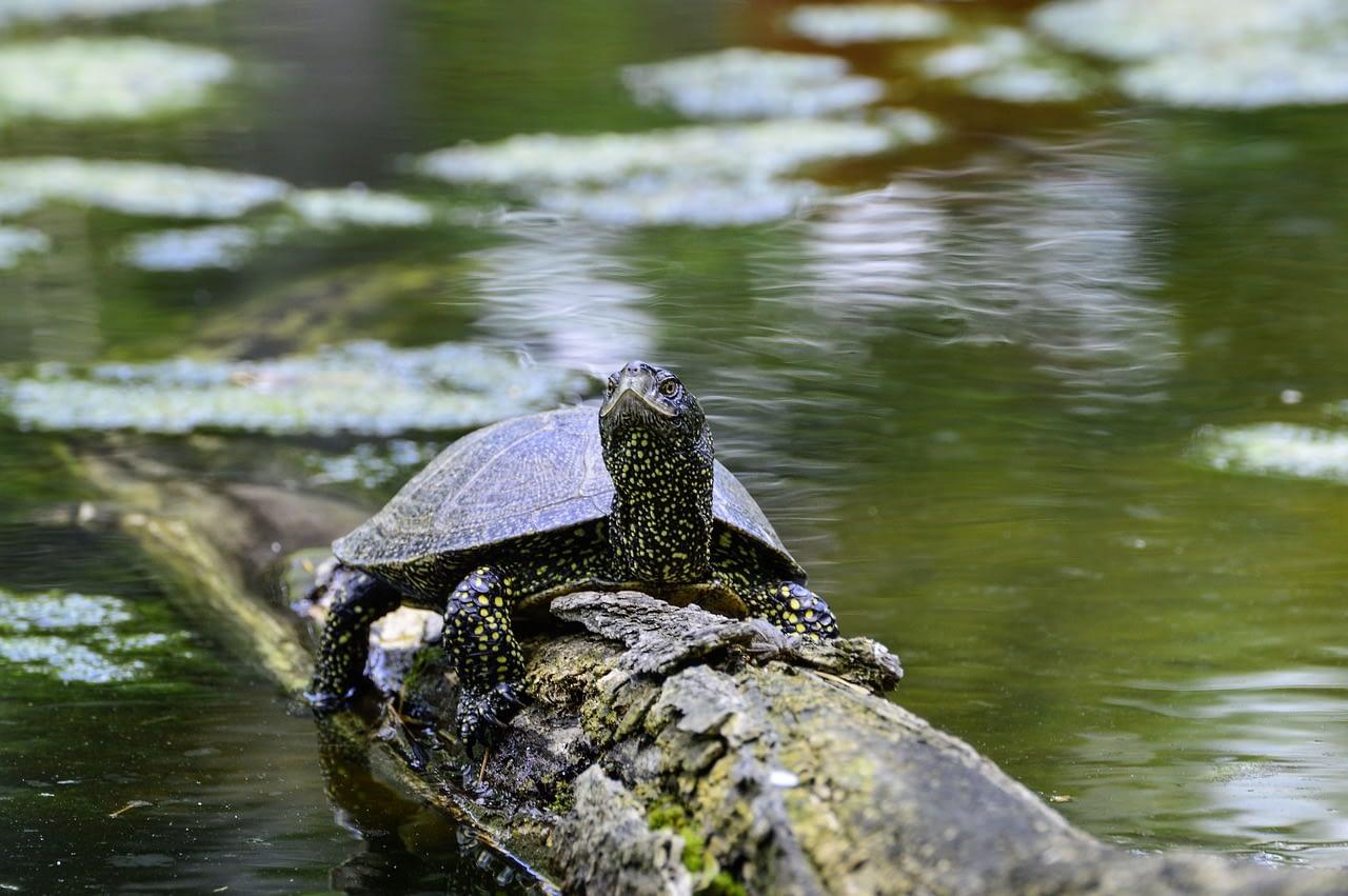 european, marsh turtle, turtle