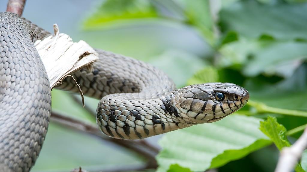grass snake, natrix helvetica, snake