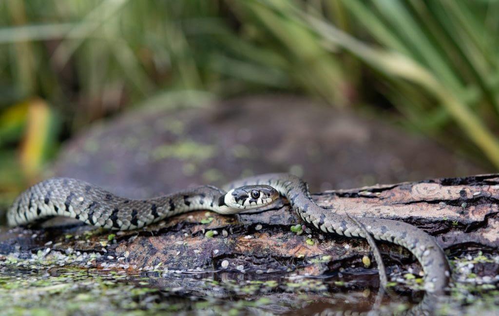 grass snake, natrix natrix