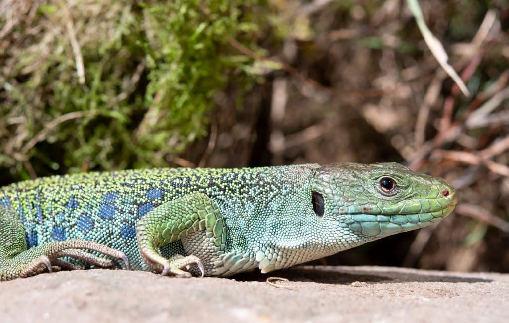 eyed lizard, Timon lepidus