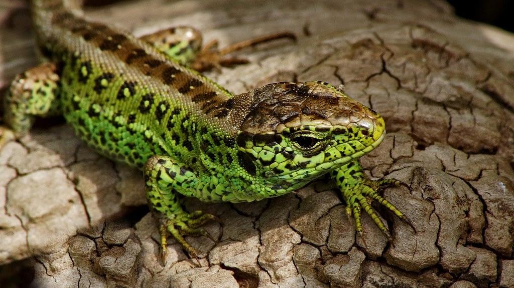 sand lizard, reptile, emerald lizard