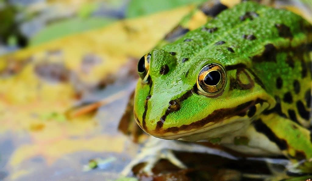 frog, green, green frog