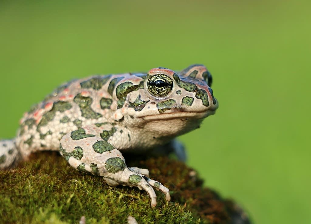 frog, toad, moss