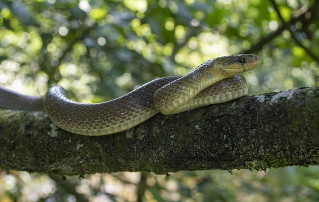 aesculapian snake, zamenis longissumus, staffordshire, captive