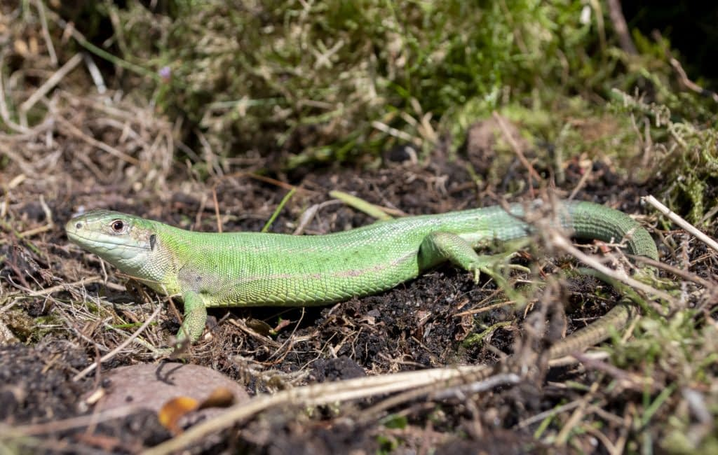 European green lizard ,Lacerta viridis, staffordshire, captive